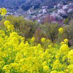 福島市、花見山へ行きました