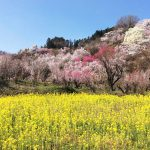 今年も花見山に行ってきました
