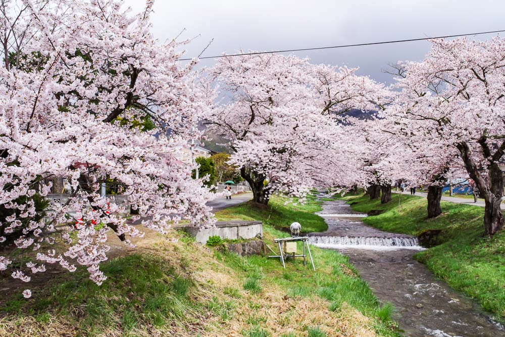 会津・観音寺の桜