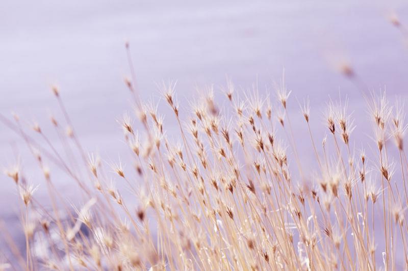 麦植物の写真