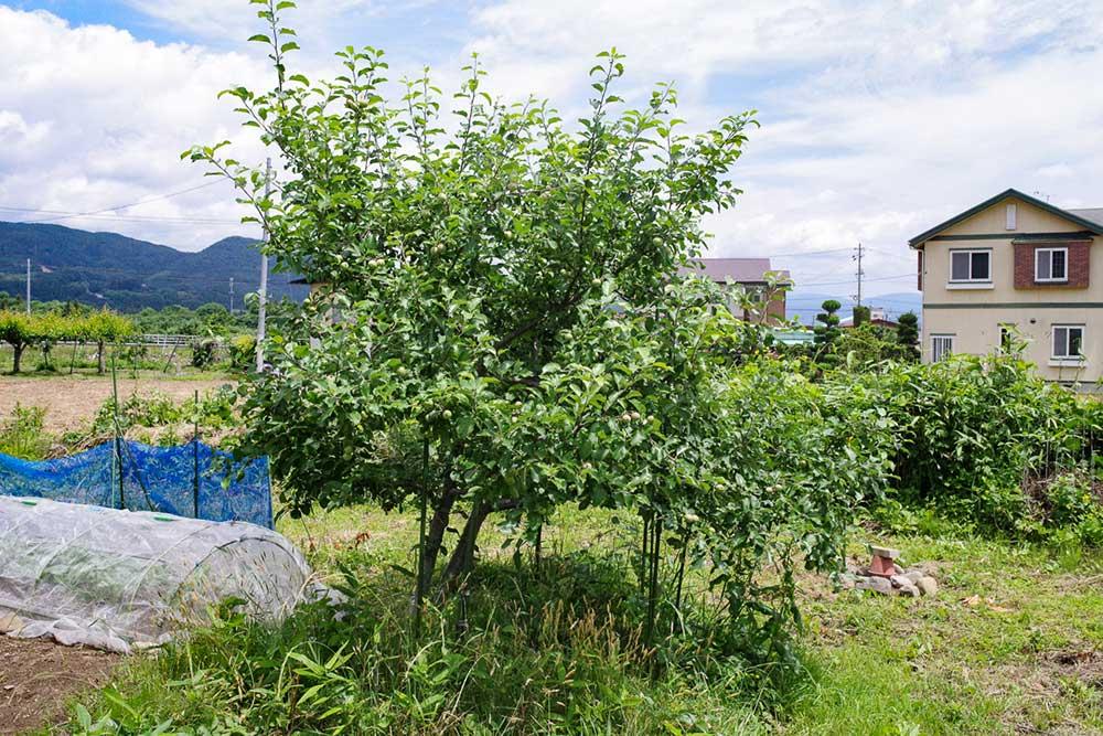 フジリンゴの木